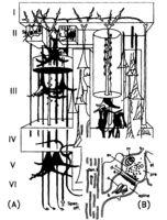 Contrucción tridimensional de J. Szentagothai que muestra neuronas corticales de varios tipos.