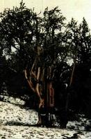 """En la Sierra Blanca californiana se encuentran unos bosquetes de una especie de pino (""""Pinus longaeva"""") que puede superar los 4.000 años de vida. No alcanzan gran altura, aunque presentan copas grandes e irregulares. En sus troncos, frecuentemente mutilados y ramificados desde su base, con la corteza parcialmente desgarrada, aflora al exterior la madera, dándoles un aspecto de """"fósiles vivientes"""". (Fotos: L. Gil y J.A. Pardos.)"""