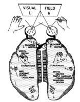 Esquema que muestra la manera en que los campos visuales derecho e izquierdo se protectan a la izquierda y a la derecha respectivamente.