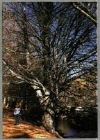 """Este añoso ejemplar de haya (""""Fagus sylvatica""""), al borde del Jarama, perteneciente al relicto de Montejo de la Sierra (Madrid), muestra la belleza del lugar en otoño. (Foto: J. A. Pardos)."""