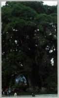 """El ejemplar de ciprés calvo (""""Taxodium mucronatum"""") de Santa María de Tule, en Oaxaca (México), está considerado el árbol de mayor diámetro del mundo. (Foto: C. Morla)"""