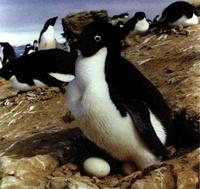 A finales de noviembre el pingüino de Adelia incuba sus huevos.