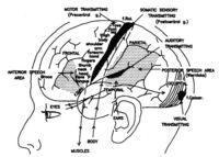 Áreas motoras y sensotransmisoras del córtex cerebral.