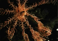 Crinoideo. Leptomera sp.