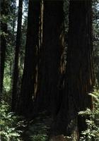 """La """"Sequoia sempervirens"""" disputa a la """"gigantea"""" la aptitud para alcanzar gran tamaño y longevidad, siendo frecuente verlas formando corros como los que muestra la fotografía tomada en el bosque de Moorwoods, en la baja California. (Foto: J.A. Pardos.)"""