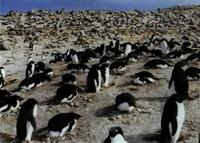 El pingüino de Adelia regresa todos los años al mismo lugar de cría, formando grandes colonias o pingüineras.