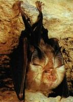 El murciélago abre un ojo, ininterrumpido su descanso por el flash.